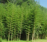 Vivax Giant Timber Bamboo