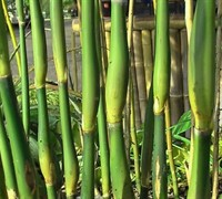 Green Onion Bamboo