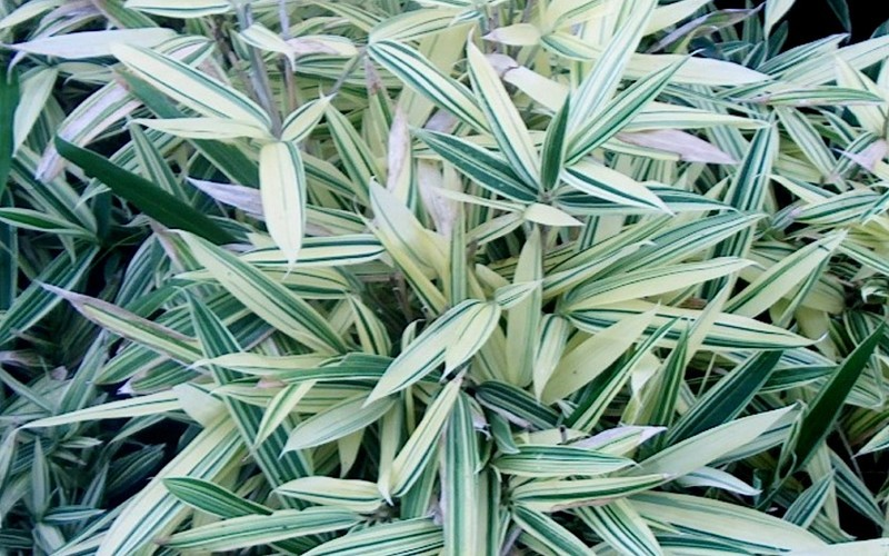 Buy albostriata variegated bamboo sam bamboo 2 gallon for Variegated grass plant