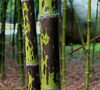 Spotted Leopard Bamboo