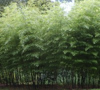 Black Stripe Bamboo
