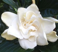 "Fall In Loveâ""¢ Gardenia - Gardenia jasminoides ' Fall In Love'"