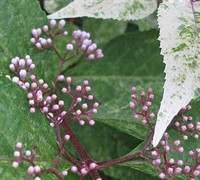 Snow Storm Beautyberry