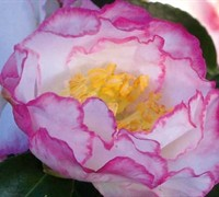 October Magic Inspiration Camellia