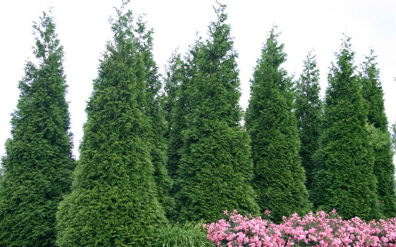 Green Giant Arborvitae  - 1 Gallon - Cypress & Cedar Trees | ToGoGarden