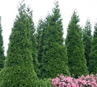 Shop Green Giant Arborvitae  - 1 Gallon