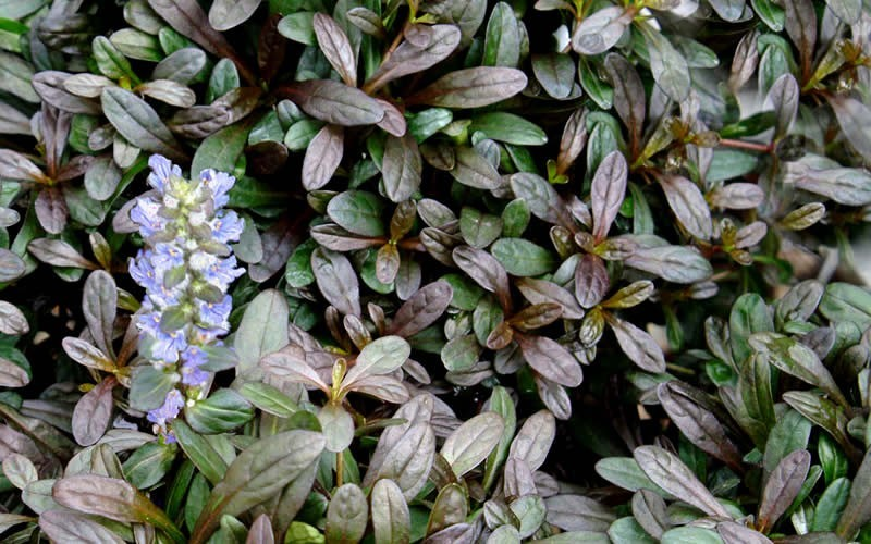 Ajuga Chocolate Chip Bugleweed Photo 2