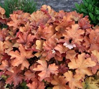 Shop Heuchera Caramel Coral Bells - 10 Count Flat of Quart pots