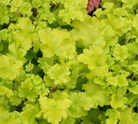 Heuchera 'Lime Rickey'  Coral Bells