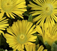 Delosperma Golden Wonder Ice Plant