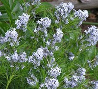 Shop Threadleaf Blustar Amsonia hubrichtii - 1 Gallon