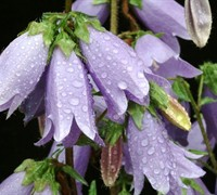 Summertime Blues Bellflower - Campanula