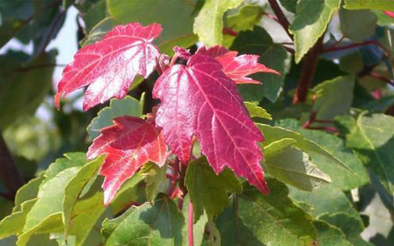 Summers Red Red Maple - 3 Gallon - Perennial Plants | ToGoGarden