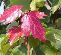 Shop Summers Red Red Maple - 3 Gallon