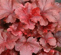 Shop Galaxy Heuchera - 1 Gallon