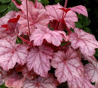 Grape Soda Heuchera - Coral Bells