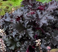 Shop Black Taffeta Heuchera - 1 Gallon