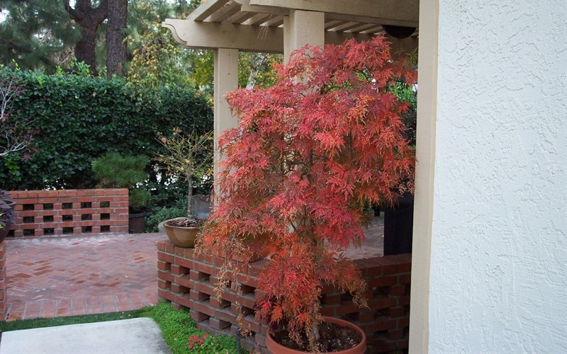 Orangeola Japanese Maple Photo 8