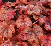 Heucherella Copper Cascade