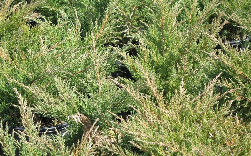 Nicks Compact Juniper - Juniperus chinensis 'Nicks Compact'