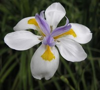 Shop White African Iris - 2.5 Quart