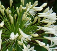 Lily of the Nile- Agapanthus africnus 'Peter Pan White'