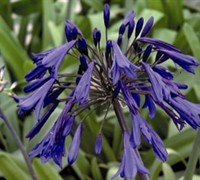Lily of the Nile - Agapanthus orientalis 'Storm Cloud'