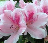 Dutchess of Cypress Azalea