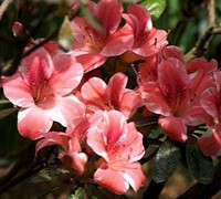 Shop Dogwood Azalea - 1 Gallon