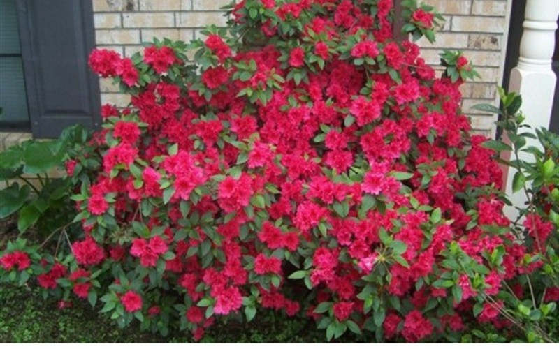 Red Formosa Azalea - 3 Gallon - Azalea Shrubs | ToGoGarden