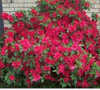 Shop Red Formosa Azalea - 2.5 Quart