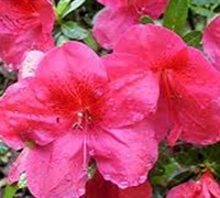 Red Slippers Azalea