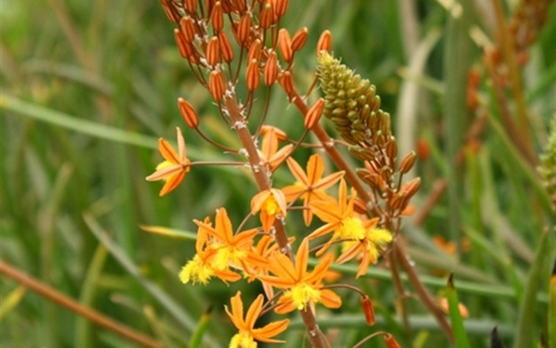 Buy hallmark orange bulbine 1 gallon perennials deer resistant buy plants online - Tough perennial bloomers drought insect and pest resistant flowers ...