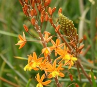 Hallmark Orange Bulbine