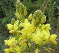 Yellow African Bulbine