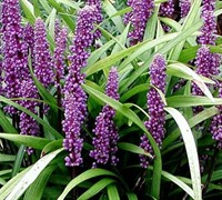 Liriope muscari 'Super Blue'