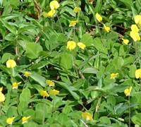 Golden Glory Ornamental Peanut - Arachis pintoi 'Golden Glory'
