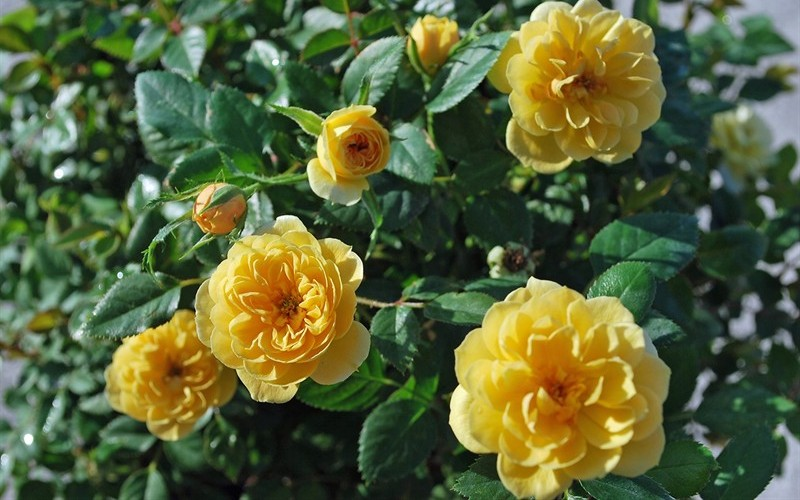 Sunrosa Yellow Rose