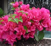 Helen Johnson Dwarf Pink Bougainvillea