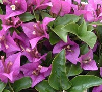 New River Purple Bougainvillea
