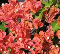 Sundown Orange Bougainvillea