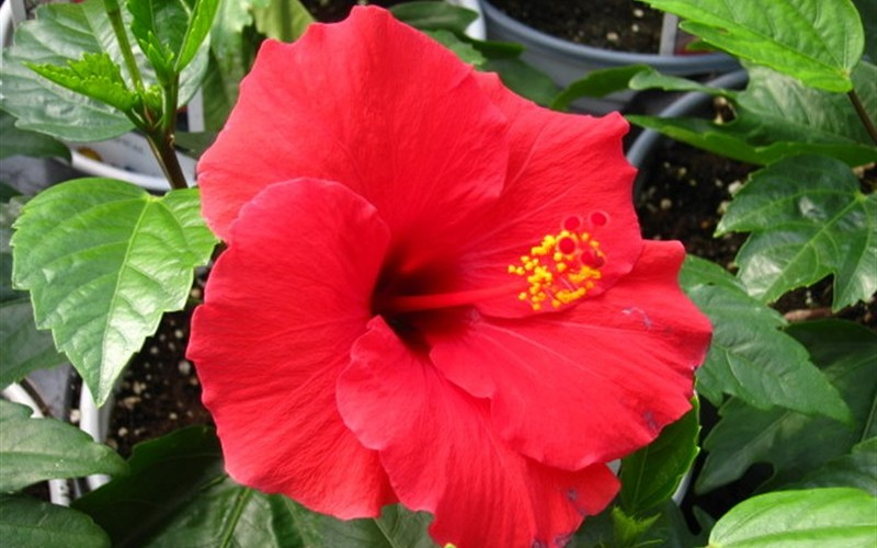 Buy Brilliant Red Tropical Hibiscus Plants Online 1 Gallon