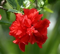 Celia Double Red Tropical Hibiscus