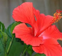 President Red Tropical Hibiscus
