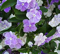 Brunfelsia 'Yesterday-Today- and-Tomorrow'
