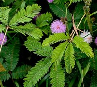 Shop Sensitive Plant - 1 Gallon