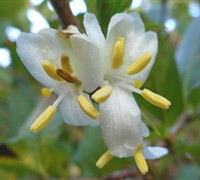 Fragrant Winter Honeysuckle Bush