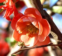 Chojuraku Orange Flowering Quince
