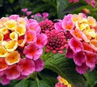 Shop Lantana camara 'Fantasy' - 10 Count Flat - 4""