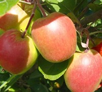 Anna Apple - Malus domestica 'Anna'